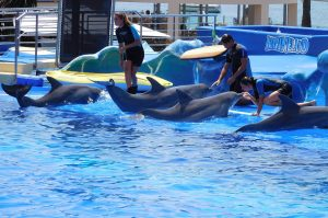 four dolphins in pool with trainers